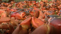 The Amazing Red Crabs of Christmas Island