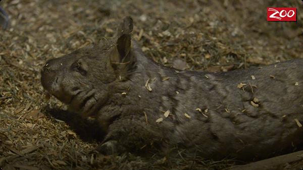 Glen the Wombat