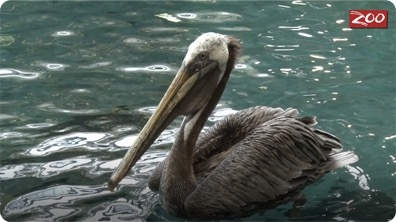 Sir Ken the Pelican
