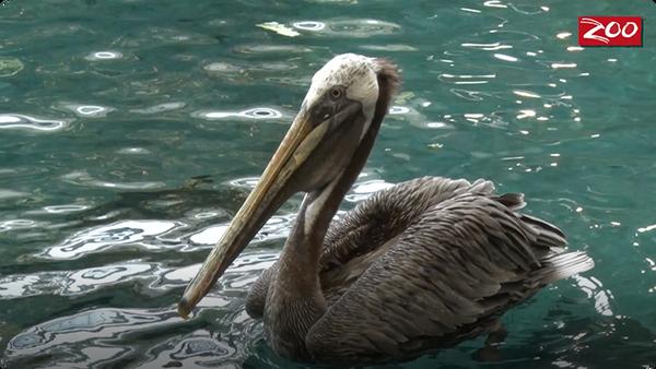 Sir Ken the Pelican