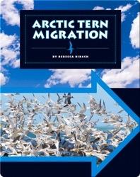 Arctic Tern Migration