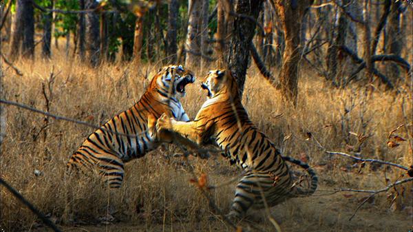 Tiger Cub's First Prey (Tiger - Spy in the Jungle)