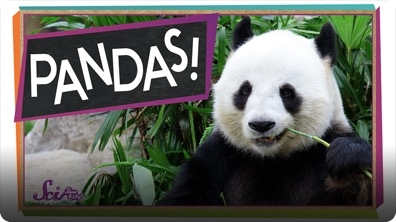 SciShow Kids: The Problem With Pandas