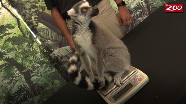 King Julian the Lemur