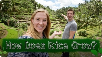 How Does Rice Grow?