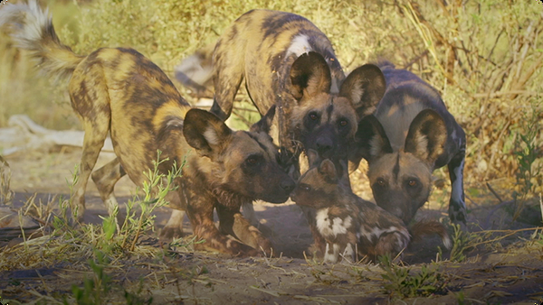 Affection and Protection of Wild Dogs