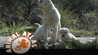 Animal Atlas: Labrador Retriever