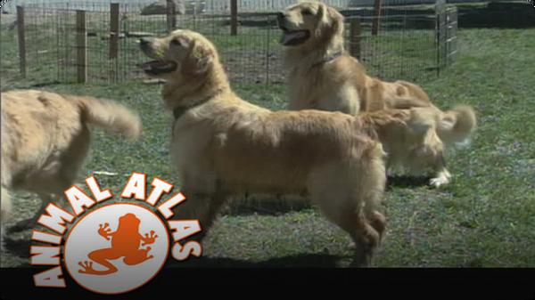 Animal Atlas: Golden Retriever