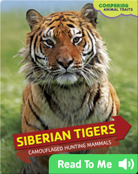 Siberian Tigers: Camouflaged Hunting Mammals