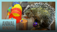 Porcupine Does an Obstacle Course!