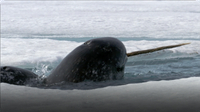 Frozen Planet: Narwhals