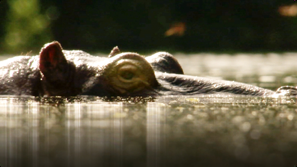 BBC Life: Barbel Fish & Hippo