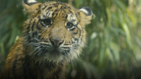 Check Out These 7-Month-Old Tiger Cubs Learn to Swim