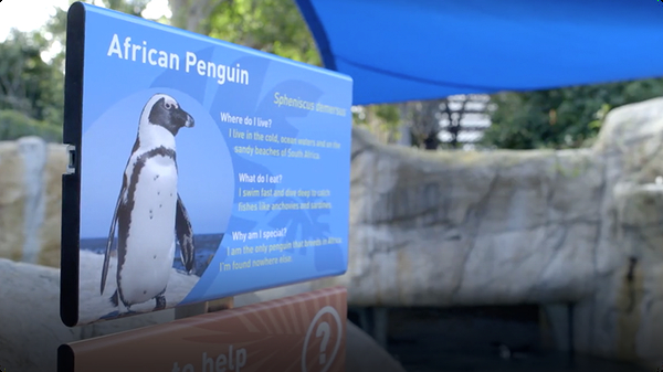San Diego Zoo's First Penguins in Over 35 Years Take Up Residency