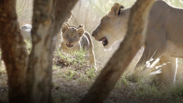 These Lion Cubs Make Big Debut at San Diego Zoo