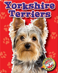 Yorkshire Terriers: Dog Breeds