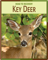 Road To Recovery: Key Deer