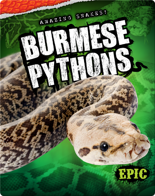 Amazing Snakes! Burmese Pythons
